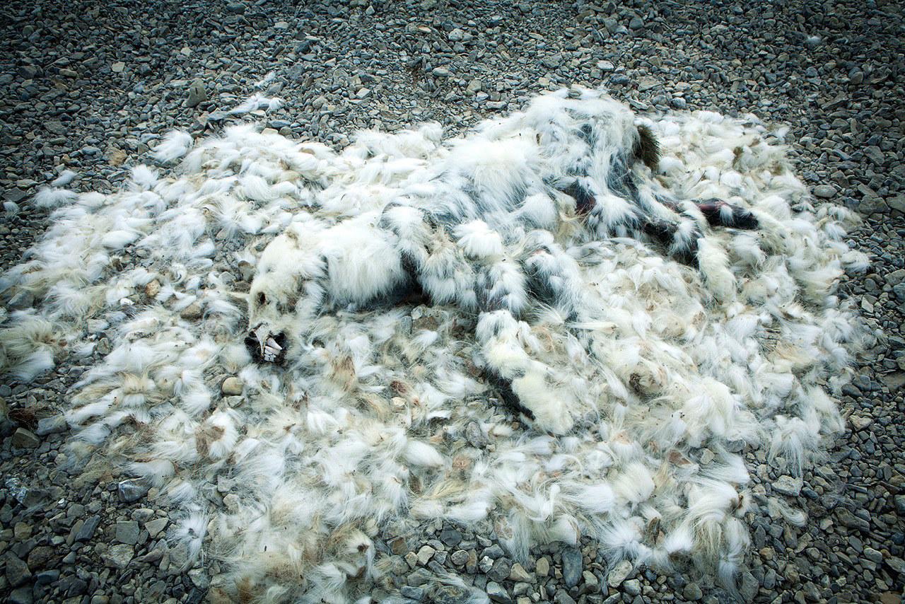 Beruang Kutub mati kerana mati kebuluran - Sebastian Copeland for Arctica: The Vanishing North