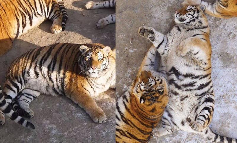 harimau2